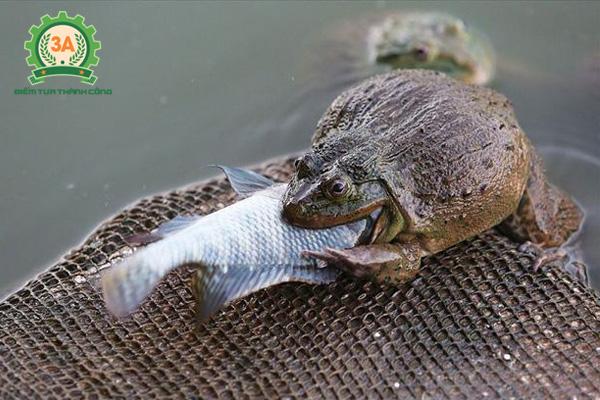 Nuôi ếch trong bể xi măng với thức ăn là cá tươi