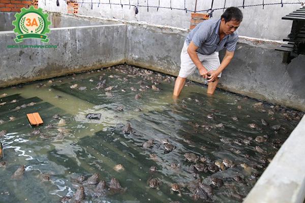 Nuôi ếch trong bể xi măng: Phân cỡ ếch thịt