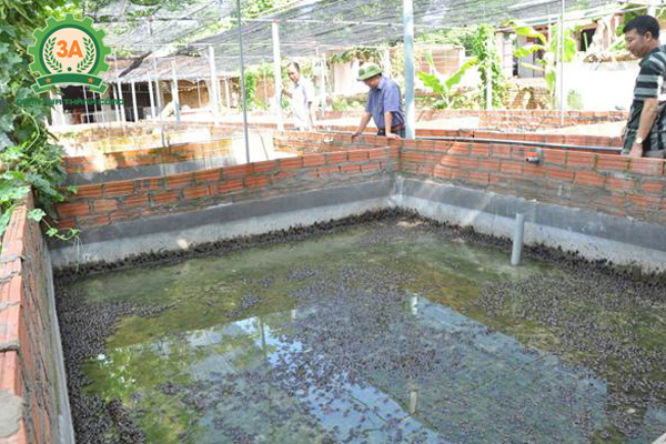 Nuôi ếch trong bể xi măng: Thường xuyên kiểm tra sức khỏe của đàn ếch