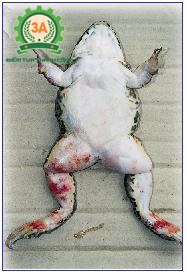 Nuôi ếch trong bể xi măng: Ếch bị lở loét chân