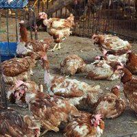 Đàn gà mắc bệnh tụ huyết trùng