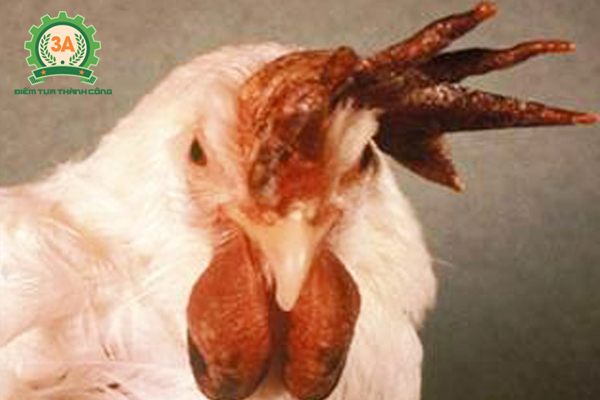 Bệnh tụ huyết trùng ở gà: Mào gà bị tím tái