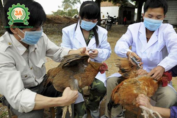 Tiêm vắc xin phòng bệnh tụ huyết trùng ở gà