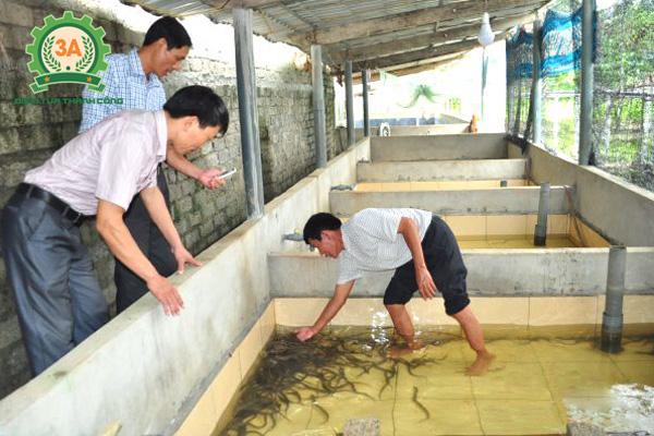 Nuôi lươn trong bể xi măng lát gạch trơn láng