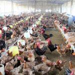 6 lưu ý về bệnh cầu trùng ở gà bà con nên biết!
