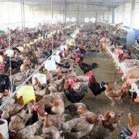 Bệnh cầu trùng ở gà (01)