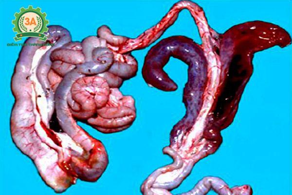 Bệnh cầu trùng ở gà: Bệnh tích cầu trùng manh tràng