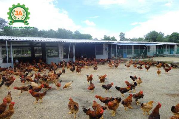 Bãi chăn thả của mô hình nuôi gà kiểu mới
