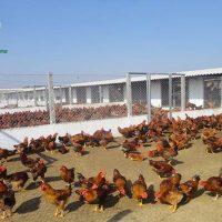 Mô hình nuôi gà thả vườn kiểu mới