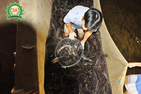 Kỹ thuật nuôi cá chình: Nuôi cá chình trong bể xi măng