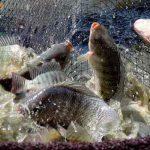 Kỹ thuật nuôi cá rô phi đơn tính thương phẩm năng suất cao!