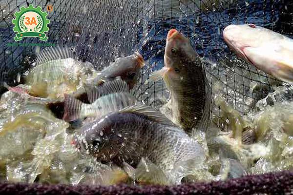 Kỹ thuật nuôi cá rô phi đơn tính