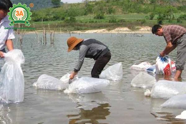 Kỹ thuật nuôi cá rô phi đơn tính: Thả cá rô phi giống