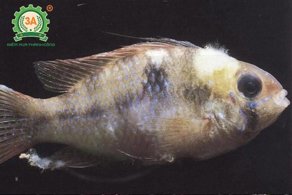 Kỹ thuật nuôi cá rô phi đơn tính: Bệnh thùy mi