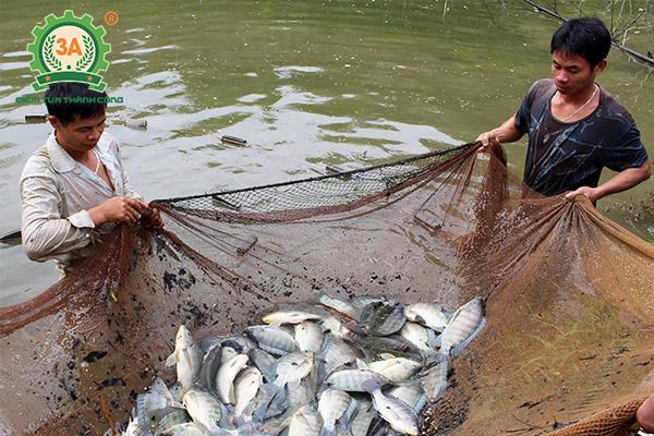 Kỹ thuật nuôi cá rô phi đơn tính: Phương pháp thu hoạch