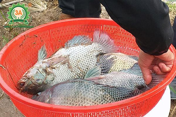 Kỹ thuật nuôi cá rô phi đơn tính: Cá thu hoạch