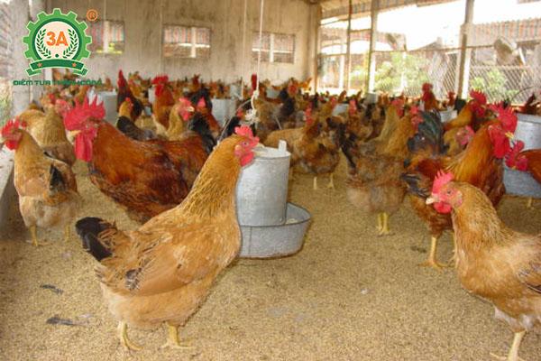 Nuôi giun quế kết hợp nuôi gà: Gà cho ăn giun quế