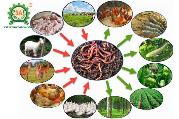 Nuôi giun quế kết hợp nuôi gà: Nuôi giun quế kết hợp nuôi gà: Giun quế là nguồn thức ăn giàu đạm lý tưởng cho các loại vật nuôi