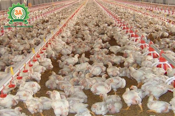 Kỹ thuật nuôi gà nhốt chuồng (01)