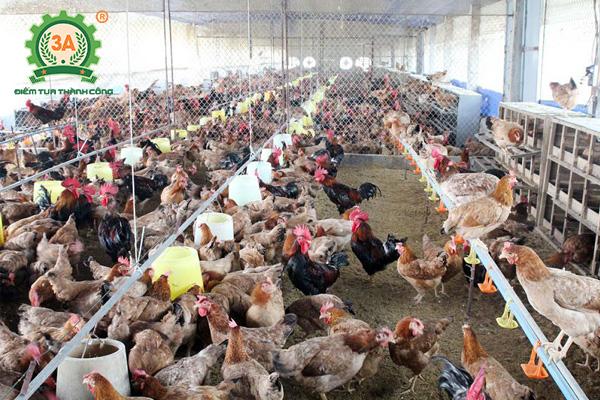 Kỹ thuật nuôi gà nhốt chuồng (04)