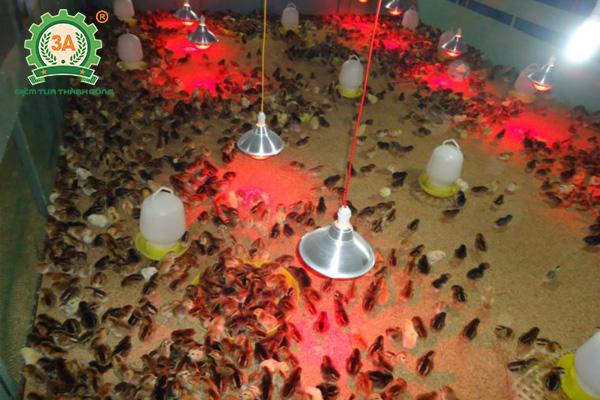 Cách nuôi gà con nhanh lớn: Úm gà con