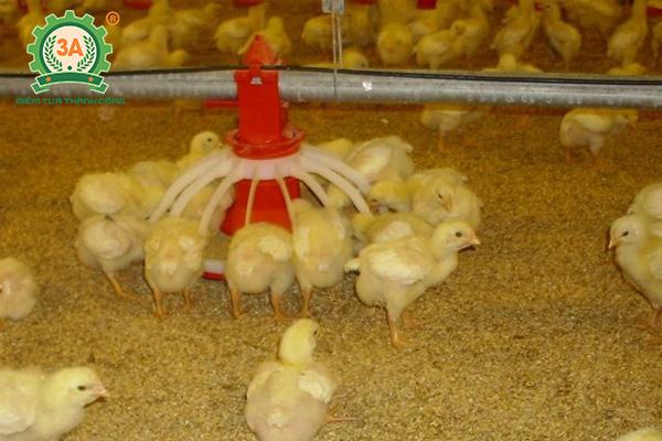 Cách nuôi gà con nhanh lớn: Chuẩn bị máng ăn, máng uống