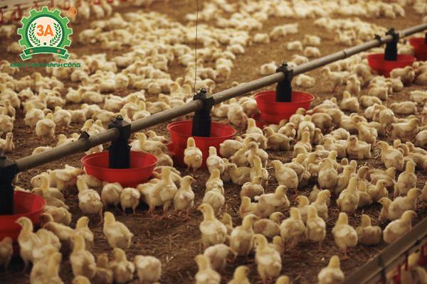 Cách nuôi gà con nhanh lớn: Giữ gìn vệ sinh khu vực nuôi gà con