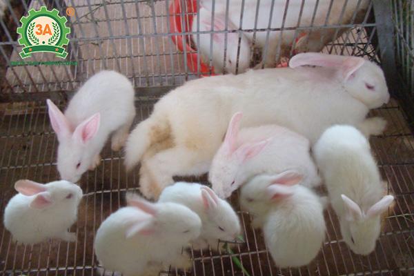 Kỹ thuật làm chuồng nuôi thỏ: Chuồng nuôi thỏ con