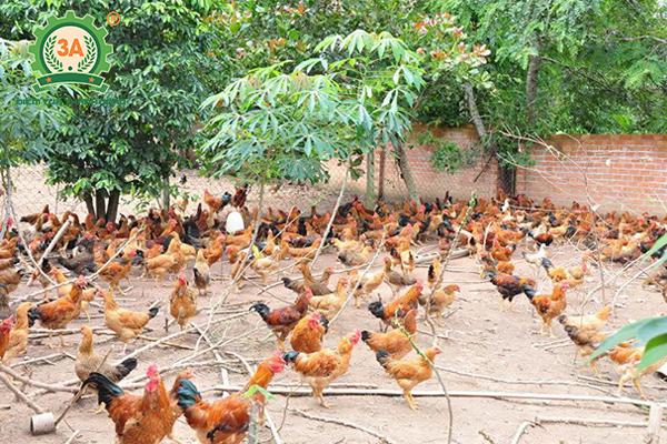 Kỹ thuật nuôi gà đẻ trứng thả vườn