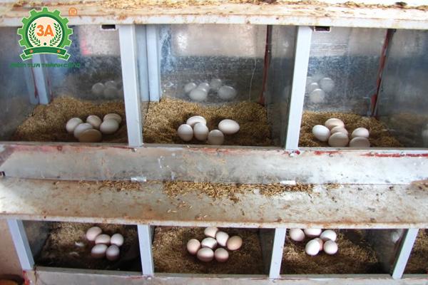 Kỹ thuật nuôi gà đẻ trứng thả vườn cho năng suất cao