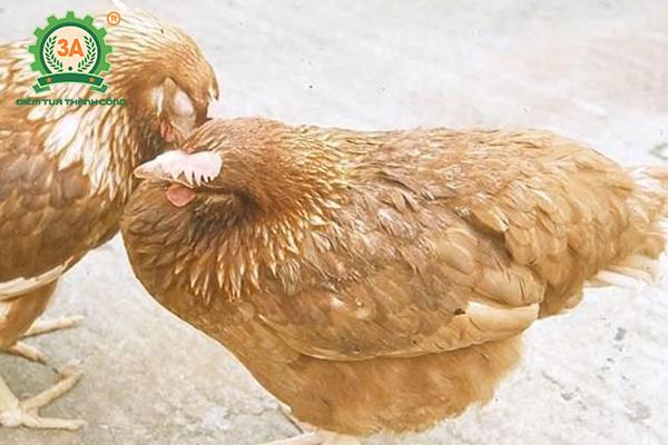 Kỹ thuật nuôi gà đẻ trứng thả vườn: Bệnh CRD