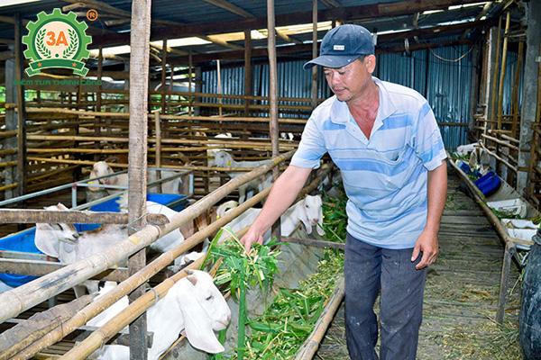 Kỹ thuật nuôi dê nhốt chuồng: Thức ăn thô xanh cho dê