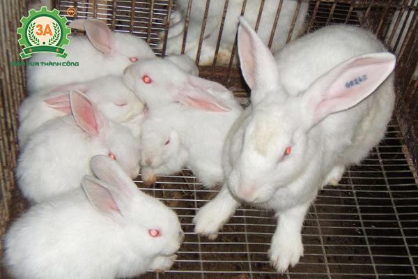 Kỹ thuật nuôi thỏ sinh sản: Cho thỏ cai sữa từ 30 - 35 ngày