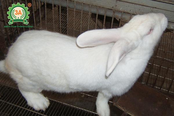 Kỹ thuật nuôi thỏ sinh sản: Chọn thỏ đực giống