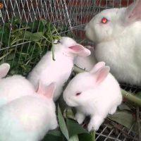 Kỹ thuật nuôi thỏ sinh sản: Thức ăn thô xanh cho thỏ
