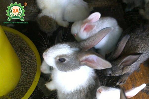 Kỹ thuật nuôi thỏ sinh sản: Cho thỏ ăn cám viên tổng hợp