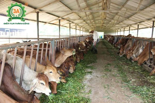 Cách nuôi bò nhanh lớn (01)