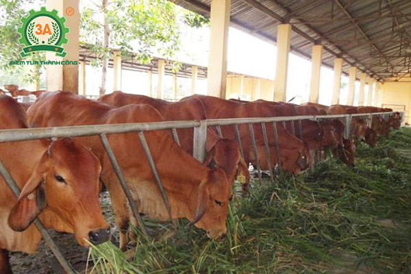 Cách nuôi bò nhanh lớn (03)