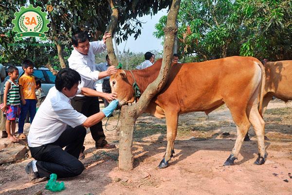 Cách nuôi bò nhanh lớn (04)