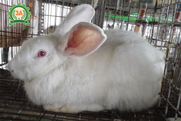 Kỹ thuật chăn nuôi thỏ thịt: Chọn thỏ giống