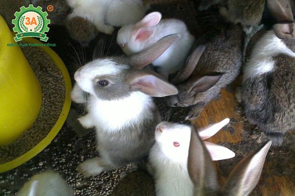 Kỹ thuật chăn nuôi thỏ thịt: Cho thỏ ăn cám viên