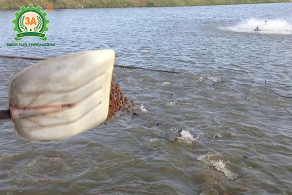 Kỹ thuật nuôi cá trắm đen: Cho cá ăn bằng xẻng