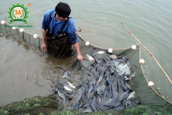 Kỹ thuật nuôi cá trắm đen: Kiểm tra cá trắm trong ao