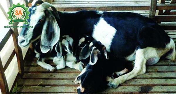 Kỹ thuật nuôi dê sinh sản: Dê con bú mẹ