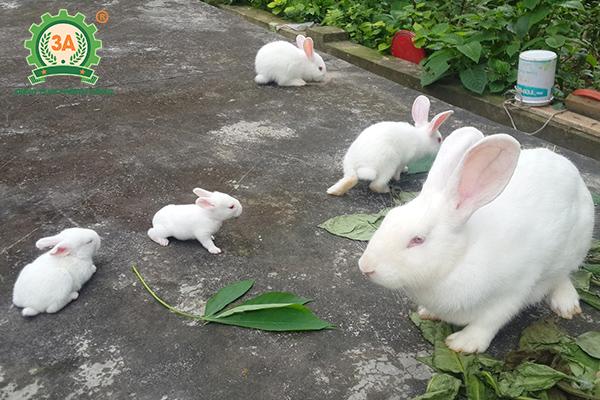 Kỹ thuật nuôi thỏ thả vườn: Thỏ Newzealand trắng