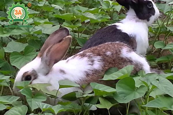 Kỹ thuật nuôi thỏ thả vườn: Vườn nuôi thỏ