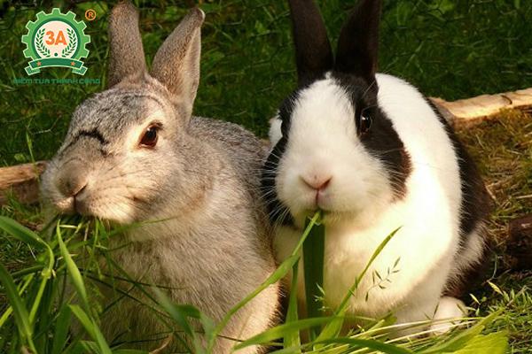 Kỹ thuật nuôi thỏ thả vườn: Cung cấp thức ăn xanh cho thỏ