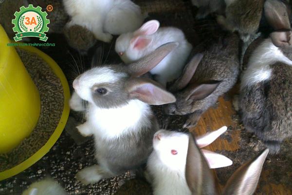 Kỹ thuật nuôi thỏ thả vườn: Thức ăn giàu đạm nên phối với thức ăn tinh