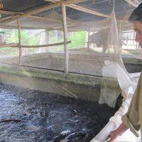Mô hình nuôi cá trê trong bể xi măng