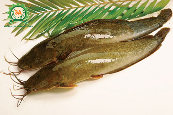 Nuôi cá trê trong bể xi măng: Cá trê vàng